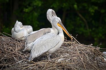 Dalmatian Pelicans at nest, France Parc des Oiseaux