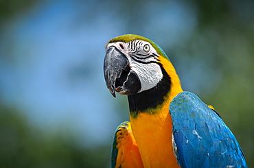 Blue-and-yellow Macaw, France Parc des Oiseaux