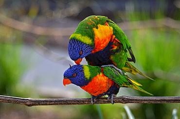Rainbow  Lorikeets mating, France Parc des Oiseaux