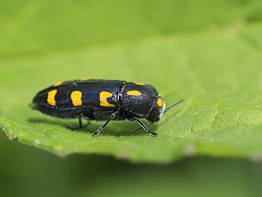 Metallic wood-boring beetle on leaf, Franche-Comté  France
