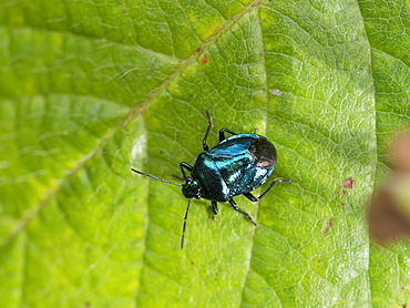 Blue Bug on a leaf, Franche-Comté France