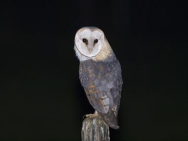 Barn Owl on a pole, Franche-Comté France