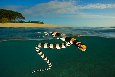 Banded sea krait on surface, Amédée islet New Caledonia