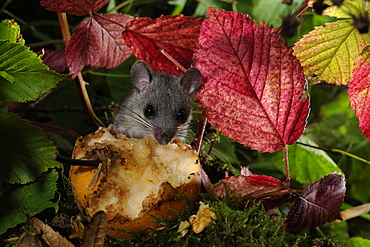 Fat Dormouse eating a fallen fruit in autumn, France