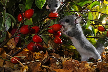 Fat dormice eating rosehips in the autumn, France