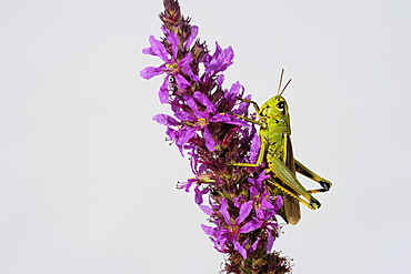 Tricolor cricket on flowers, Lorraine France