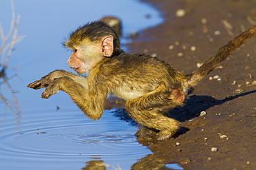 Young Yellow Baboon at the water's edge, Amboseli NP Kenya