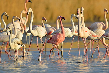 Dwarf Flamingo among Great flamingos, Camargue France