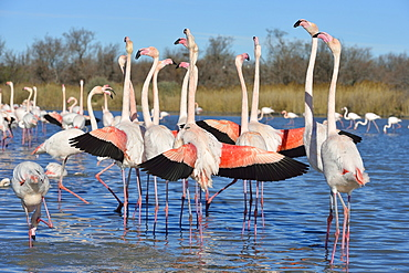 Greater Flamingos displaying in winter, Camargue France