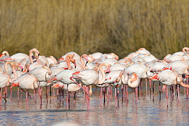 Greater Flamingos at rest in winter, Camargue France