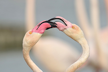 Greater Flamingos displayng in winter, Camargue France