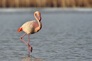 Greater Flamingo walking in winter, Camargue France