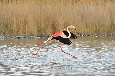Greater Flamingo flying away, Camargue France