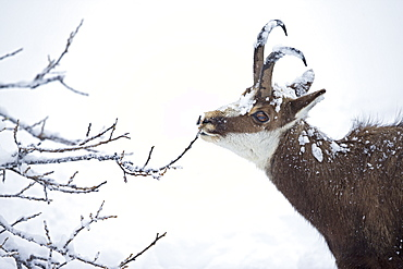 Chamois eating in deep snow, Jura Vaud Switzerland