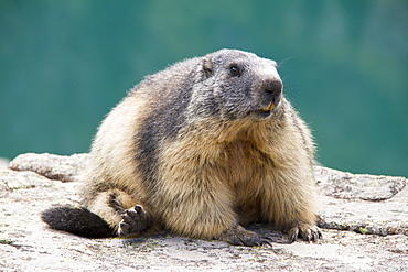 Alpine Marmot on rock, Ecrins NP Alps France