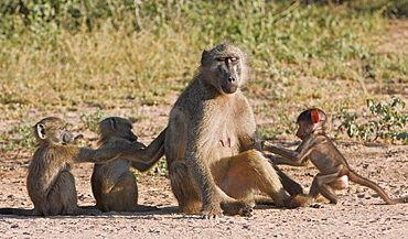 Young Chacma baboons grooming a female, Kruger RSA