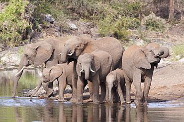 African Elephants drinking, Kruger RSA