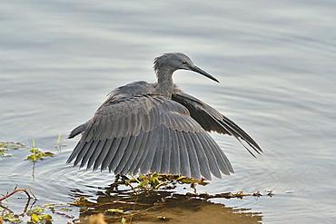 Black Heron fishing in posture, Botswana
