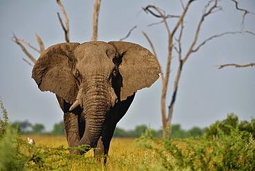 African Elephant in the Savanna, Botswana Savuti
