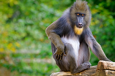 Young male Mandrill, Monkey Valley France
