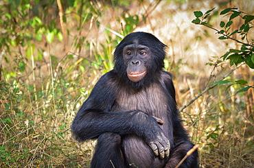 Young Bonobo sitting, Monkey Valley France