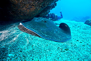 Round Stingray and Diver, Azores Atlantic Ocean
