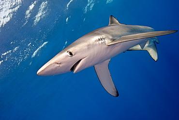 Blue Shark, Azores Atlantic Ocean