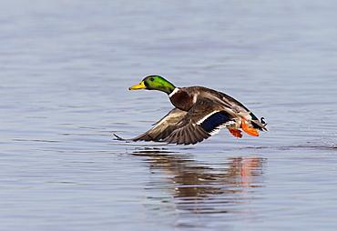 Male Mallard in flight in winter, GB
