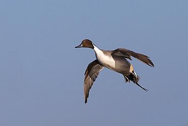 Male Pintail in flight in winter, GB
