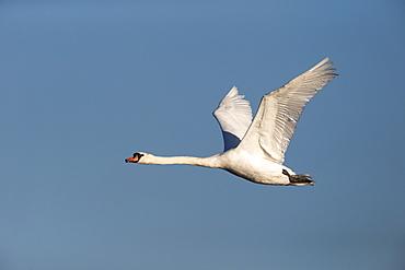 Mute Swan in flight in winter, GB