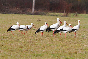 White storks in a meadow in winter, France