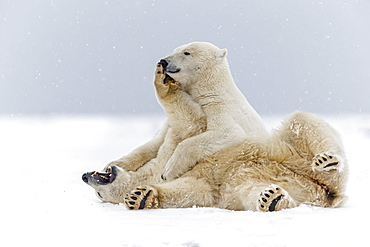 Polar bears playing on the ice, Barter Island Alaska