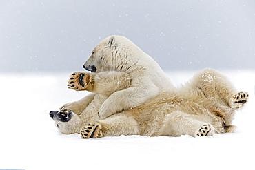 Polar bears playing on the ice, Barter Island Alaska  - 860-283033