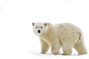 Polar bear walking on ice, Barter Island Alaska