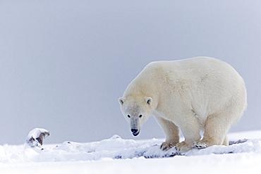 Polar Bear on the ice, Barter Island Alaska