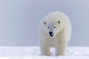 Polar Bear walking on the ice, Barter Island Alaska