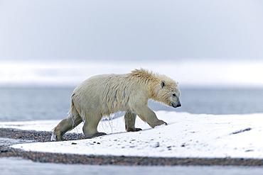 Polar bear outgoing water, Barter Island Alaska