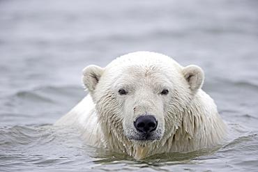 Portrait of Polar bear in water, Barter Island Alaska