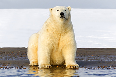 Polar bear sitting on shore, Barter Island Alaska
