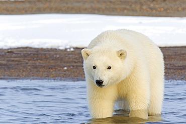 Polar bear walking in water, Barter Island Alaska