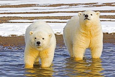 Polar bears in water, Barter Island Alaska