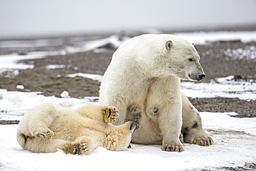 Polar bear and young on shore, Barter Island Alaska