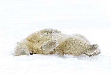 Polar bear young lying in snow, Barter Island Alaska