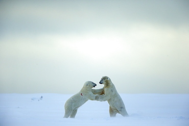 Polar bears playing on snow, Barter Island Alaska