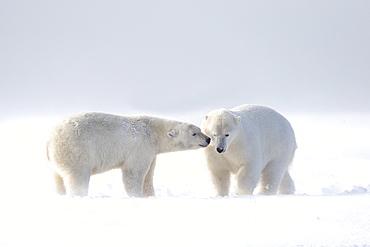 Polar bear and young playing in snow, Barter Island Alaska