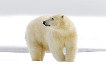 Polar bear in the snow, Barter Island Alaska