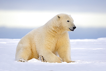 Polar bear sitting in snow, Barter Island Alaska