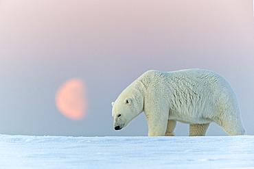 Polar Bear at moonlight, Barter Island Alaska