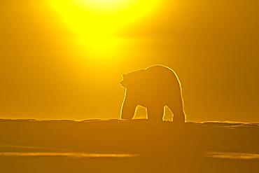 Polar bear at sunset, Barter Island Alaska
