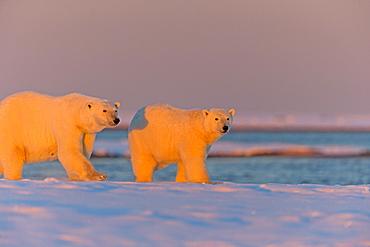 Polar bear and young in the evening, Barter Island Alaska